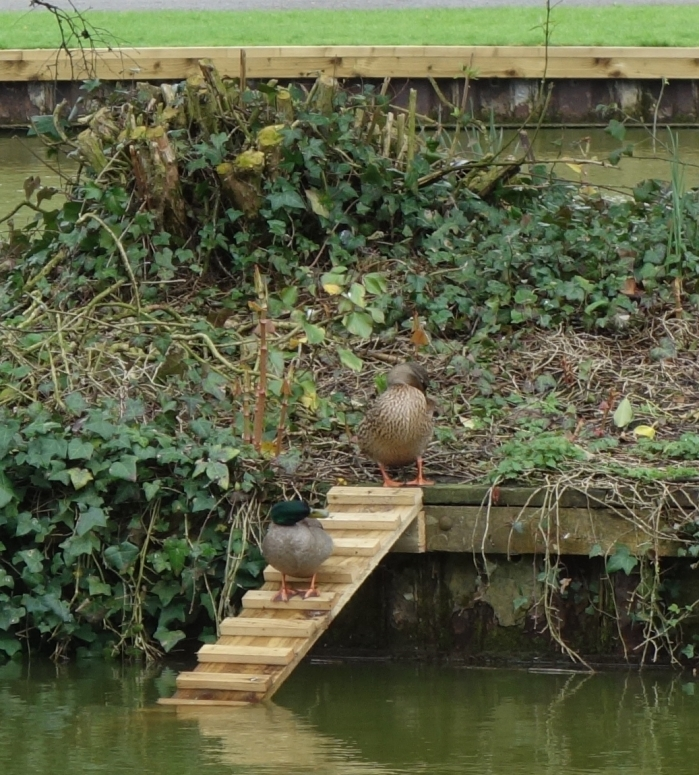 Warminster Town Council provides perfect weather and perfect ramps for ducks
